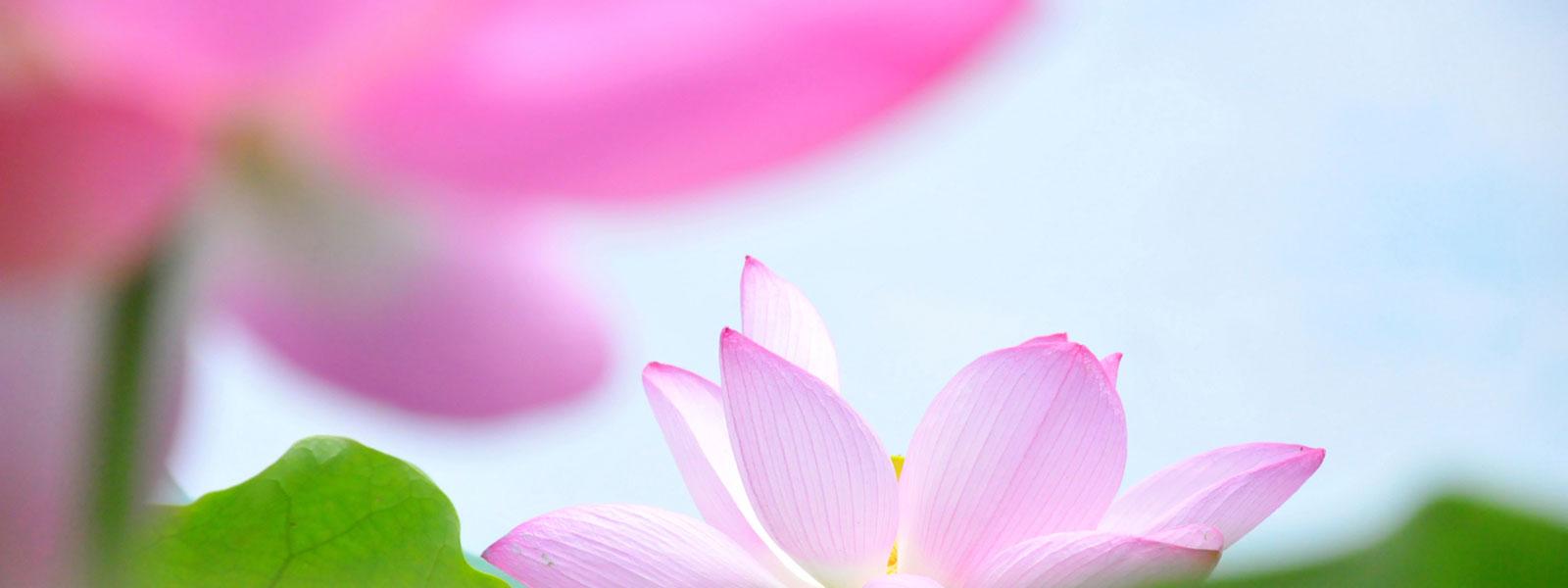 Damari Lotus